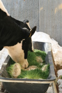 Cows eating fodder