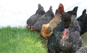 Chickens love fodder