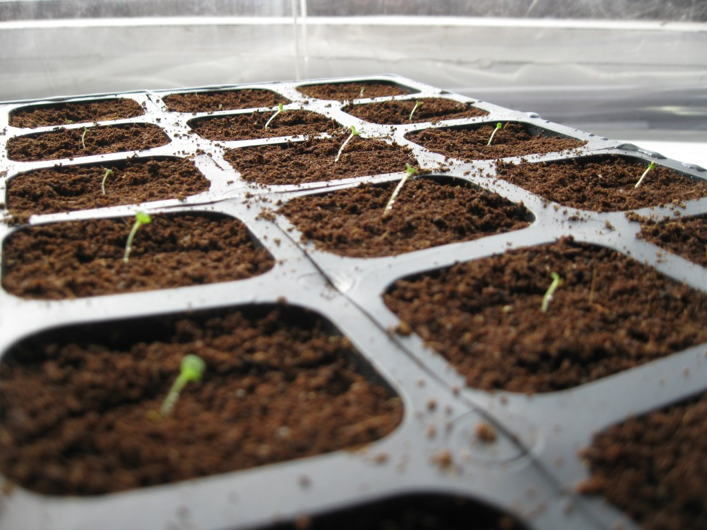 Petunia seedlings