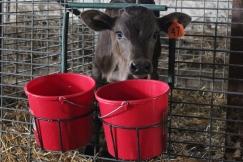 Calf feeding pails  1