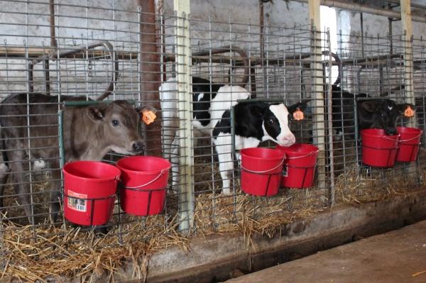Calf feeding pails