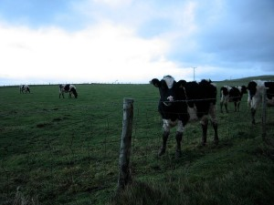 Cows behind fence
