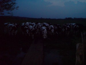 Cows out in dark