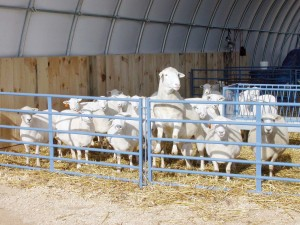 Sheep Farm Livestock Housing 2
