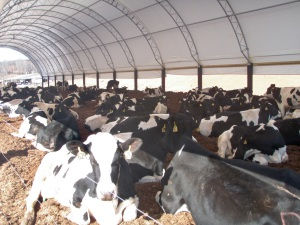 Dairy Housing in a ClearSpan Fabric Structure