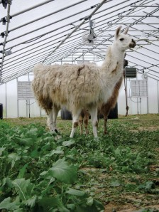 Livestock housing in greenhouse