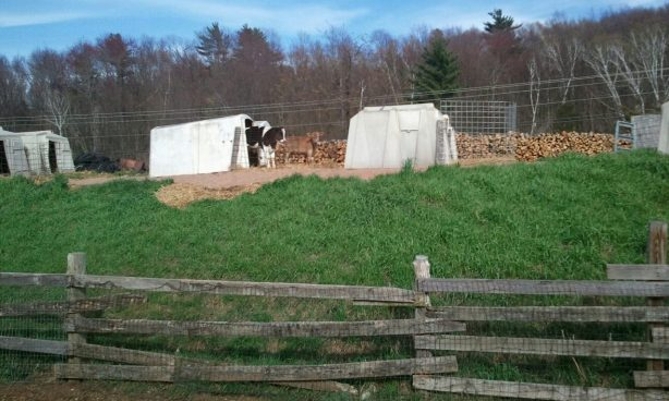 Calves in hutches