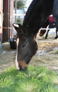 Horse enjoying fresh fodder.