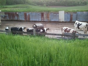 Holsteins eating
