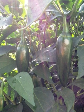 Bountiful jalapenos