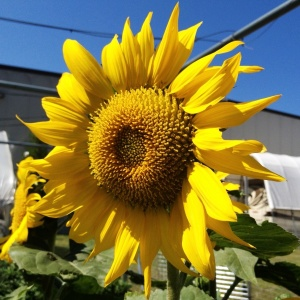 Big, beautiful sunflower