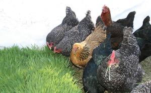 Chickens eating fodder
