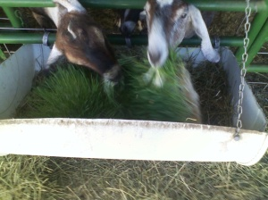 Goats Eating Fodder