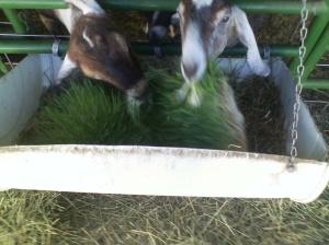 Goats Eating Fodder