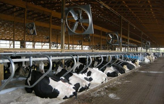 Dairy cows in barn