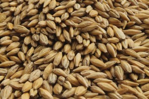 Barley seed for fodder