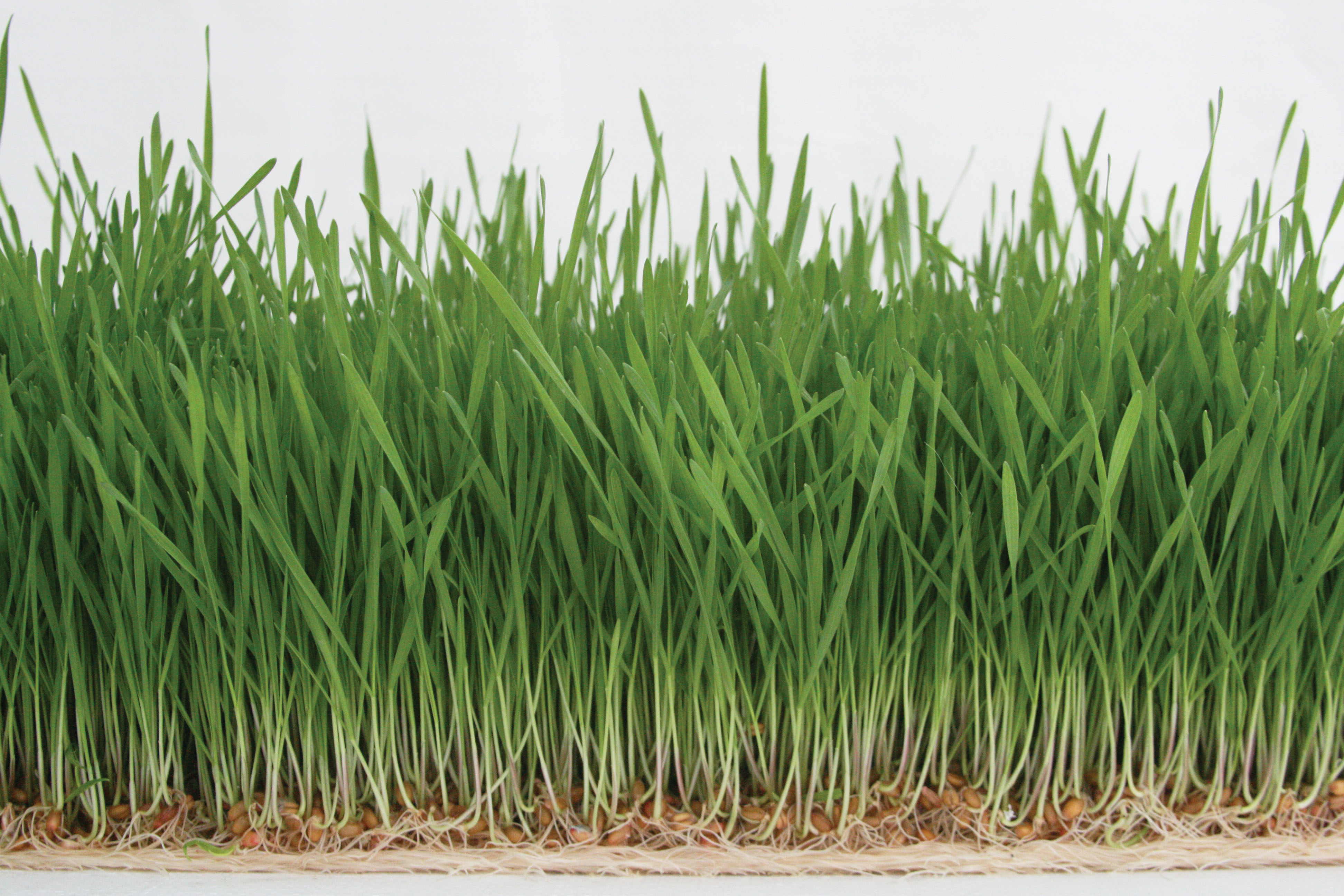 images What You Need to Know About Grass Allergies
