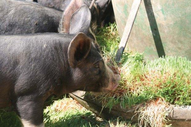 Pigs eating fodder