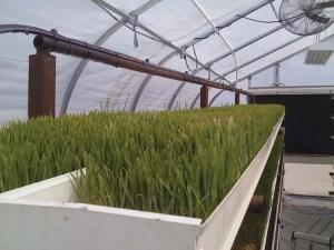 Fresh, hydroponic fodder