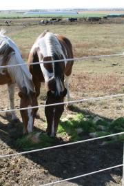 Horses eating fodder