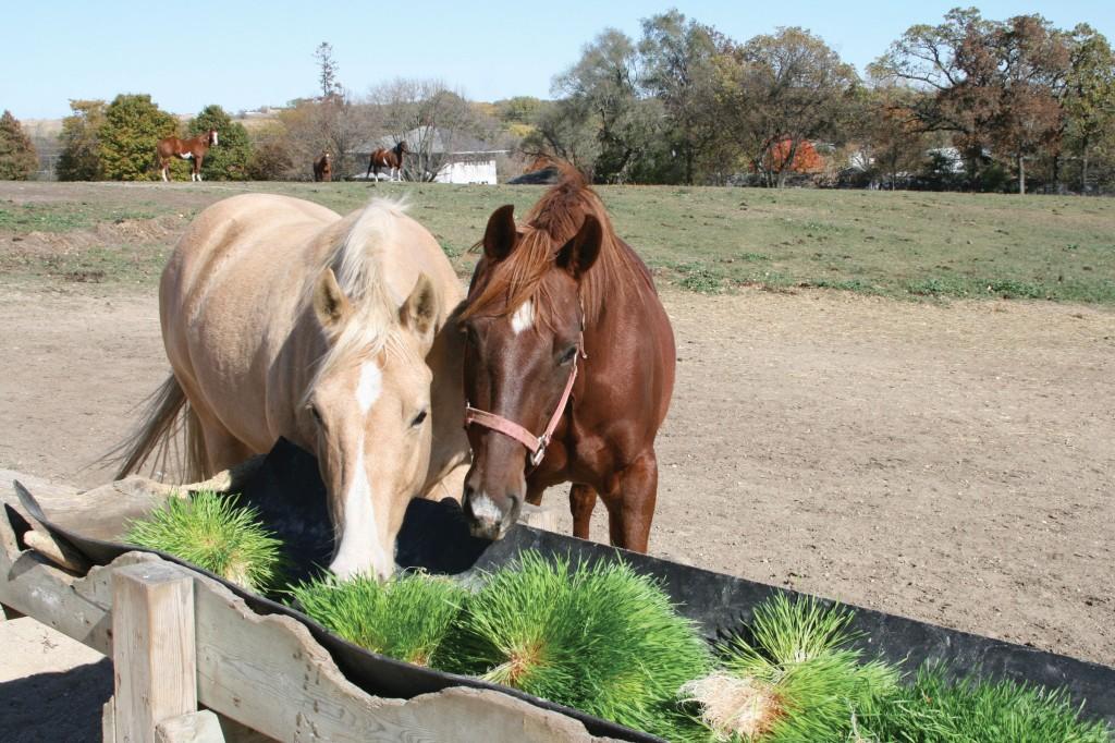 Fodder for horses
