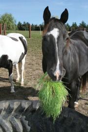 Horse eating fodder
