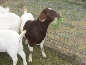 Boer goat fodder