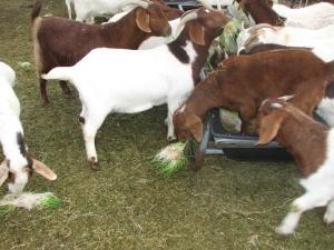 Boer goats eating fodder
