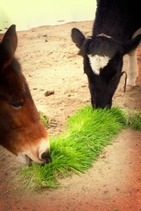 Horse and cow fodder