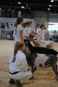 Goat judging