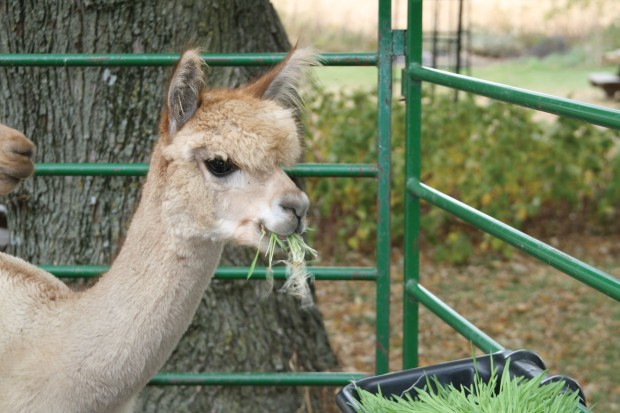 111628_Animals_Alpaca_08