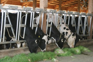 Dairy cows eating fodder