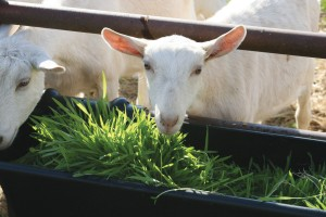 Goat eating fodder