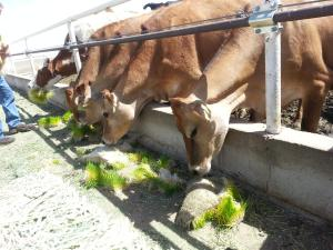 Dairy cattle eating fodder