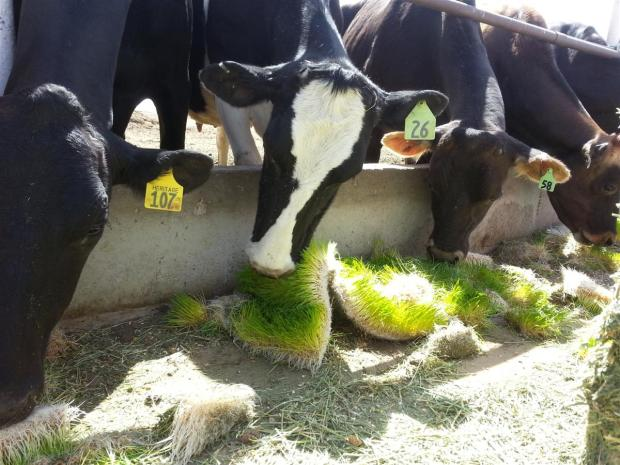 Pereira cows eating fodder