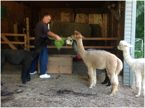 Feeding alpacas fodder