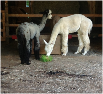 Alpacas eating fodder
