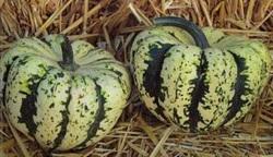Harlequin pumpkin