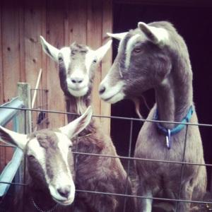 Vanessa's goats