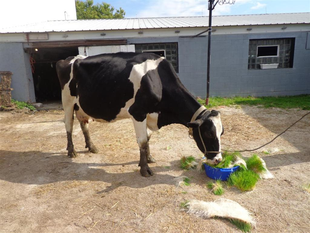 Holstein eating fodder