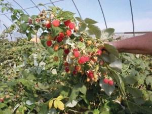 High Tunnel Grown Raspberries