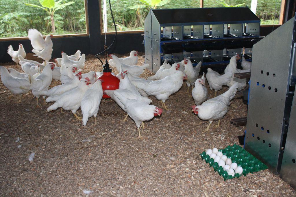 Raising Healthy Chickens