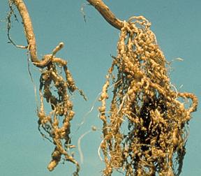 nematode galls