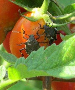 Stink bugs on tomatoe