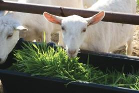 Fodder feeding goats