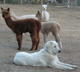 Alpaca guardian dog