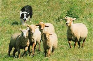 Collie herding