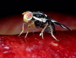 Apple maggot flies