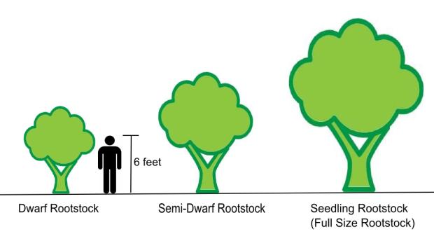 rootstock sizes