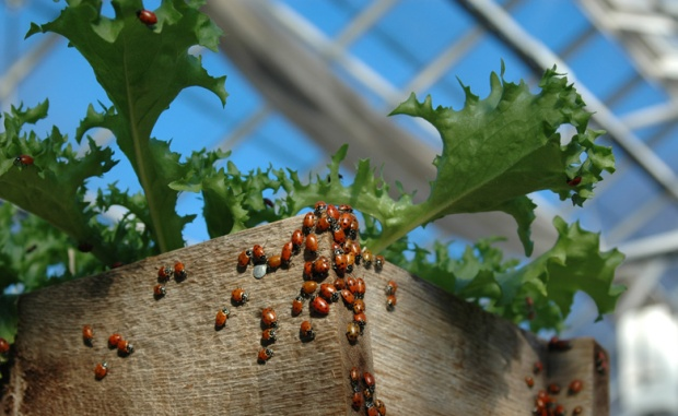 Lady bugs in a greenhouse